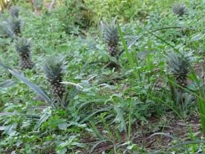 Veldje met kleine ananas planten