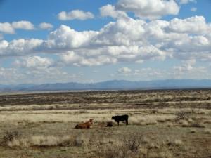 Koeien in een oneindig desolaat landschap