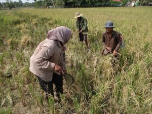 Rijst oogsten