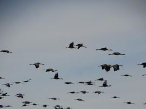 Kraanvogels op weg naar de warmte