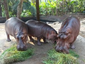 De Hippo's aan de maaltijd