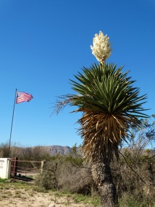 Giant Yucca in Big Bend NP