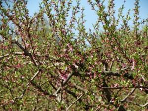 Perzik bomen in bloei