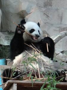 Bamboe is het Panda menu
