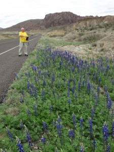 Big Bend Blue Bonnets langs de kant van de weg