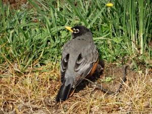 American Robin op de camping