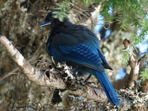 De Blue Jay komen we regelmatig tegen