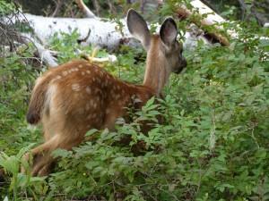 Jong Mule Deer bij Mt. Rainier