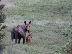 Mama Moose met Mini Moose