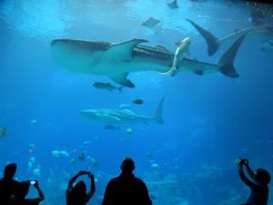 Walvishaaien in het Georgia Aquarium