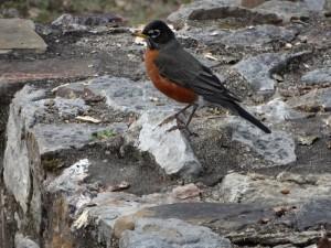 De American Robin kijkt toe