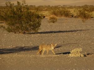 De Coyote op de camping in Death Valley