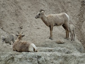 Mountain Sheep in de Badlands