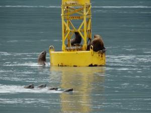 Stellar Lion Seals vechten om een plekje