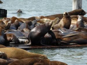 De beroemde Sea Lions bij pier 39