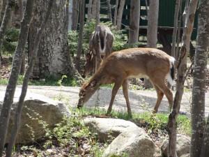 White Tailed Deer op de camping