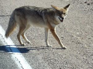 De Coyote kwam erg dichtbij