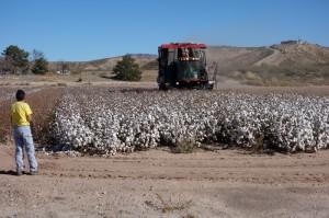 Katoen oogst in volle gang