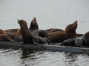 Sea Lions in de haven van Crescent City