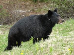 Black Bear langs de Icefield Parkway