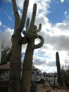 Cactussen omarmen elkaar