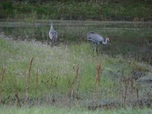 Kraanvogels aan het meertje op Clark Family Campground