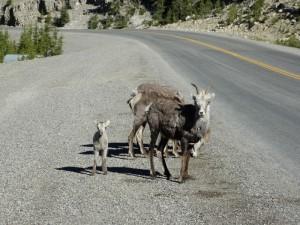 Stone Sheep met kleintje onderweg