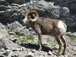 Bighorn Mountain Sheep