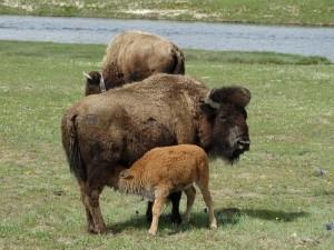 Buffalo's in Yellowstone hebben in deze tijd veel kalfjes