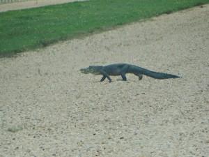 Alligator op het kruipspoor