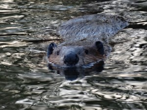 Een bever in Lake Creek