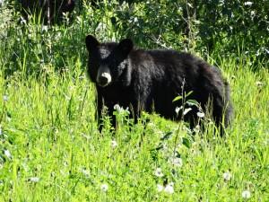 Erg nieuwsgierige Black Bear
