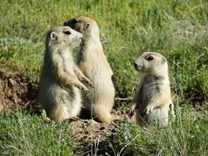 Prairie Dogs bij Devils Tower