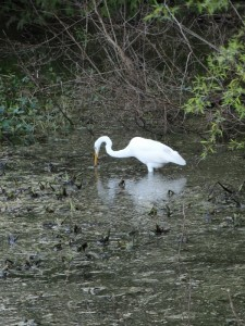 Great Egret in Bayou Seignette State Park