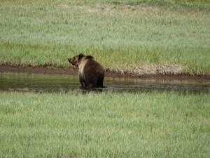 Eindelijk de Grizzley in Yellowstone