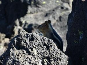 Een eenzame Squirrel tussen de lava blokken