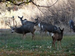 De Mule Deer in de lege appel boomgaard