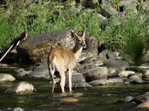 Mule Deer bij de campground