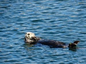 Altijd genieten van de Sea Otters