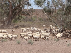Honderden schapen lopen blatend weg