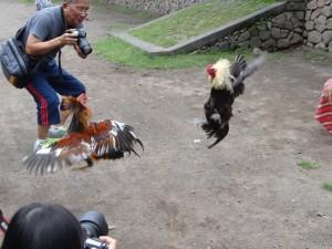 Hanengevecht voor toeristen in Tenganan