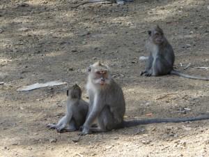 Apen langs de weg komen regelmatig voor.