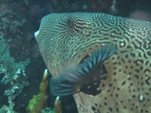Pufferfish bij Liberty wrak