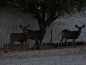 Mule Deer op de camping in Caliente